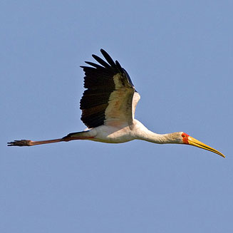 Bird Skull REAL YS11909 26cm Yellow-billed stork Mycteria ibis
