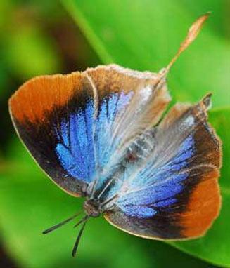 Myrina silenus (Common fig-tree blue)