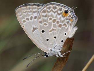 Sưu tập Bộ cánh vảy 3 - Page 40 Lepidochrysops-glauca-male-
