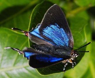 Myrina dermaptera(Lesser fig-tree bue, Scarce fig-tree blue)
