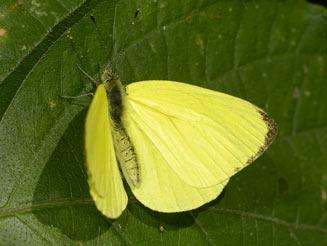 Sưu tập Bộ cánh vảy 3 Dixeia-spilleri-yellow-fem2